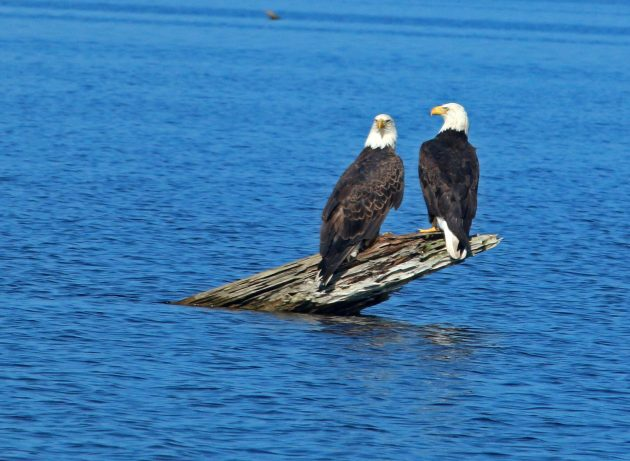 bald eagles, nature, landscape