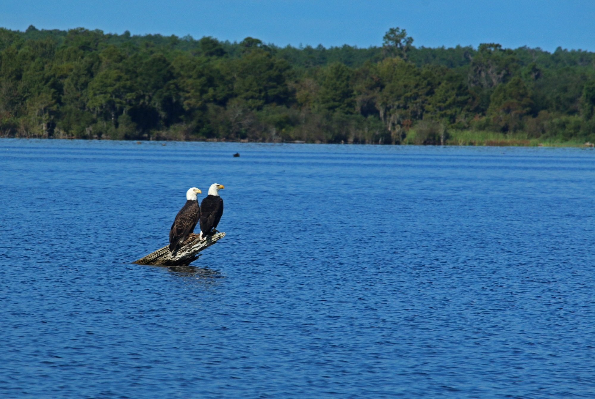 bald eagle, florida, nature