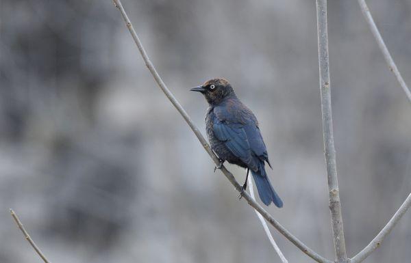Rusty blackbird on bare branch