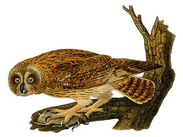 Drawing of short-eared owl on tree with prey, after Audubon