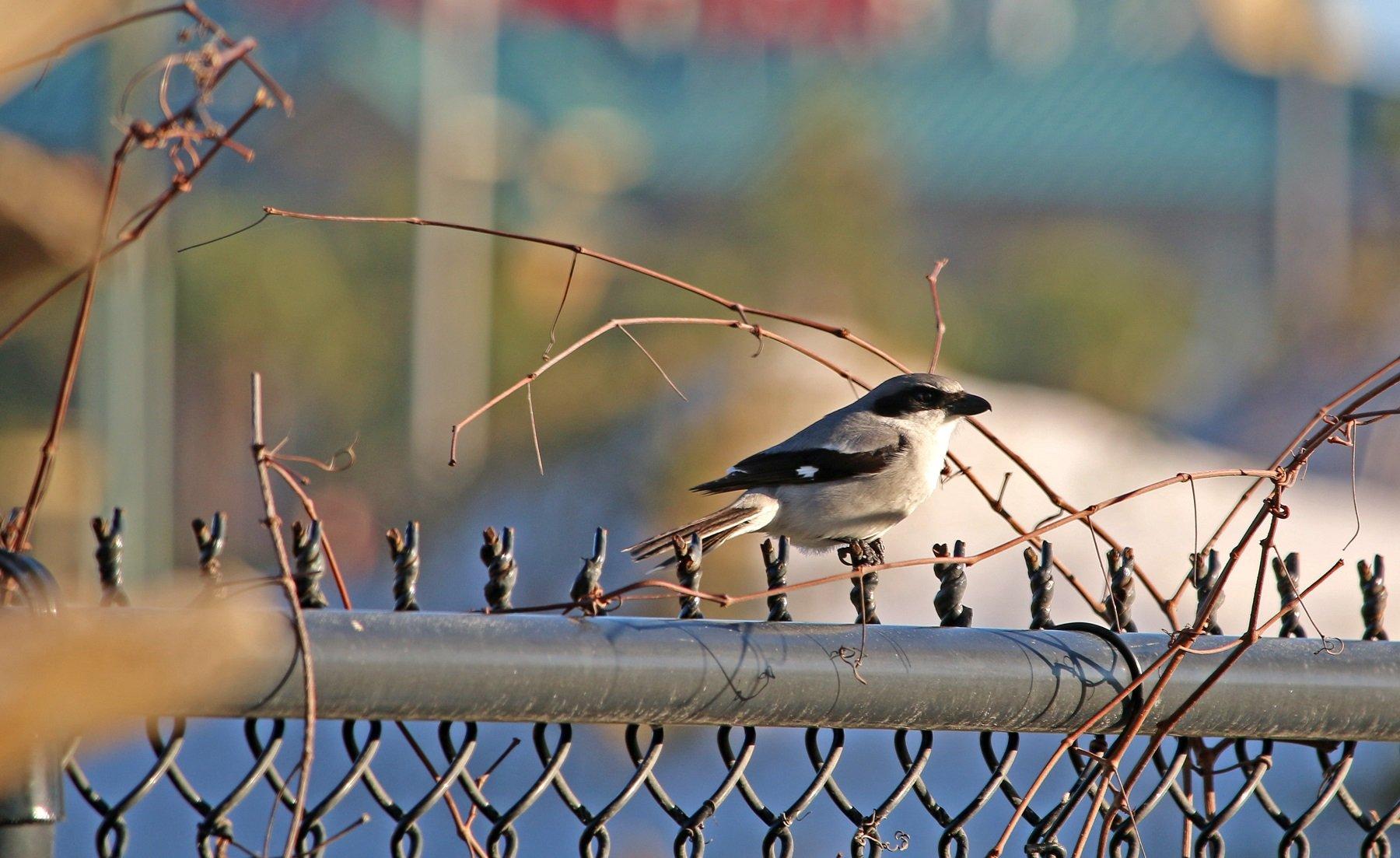 loggerhead shrike, nature, birding, florida