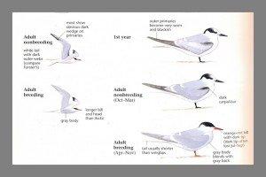 sibley.one.terns.closeup.lines.2