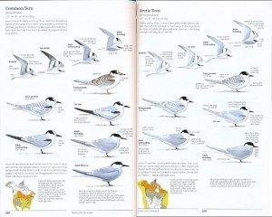 sibley2.terns