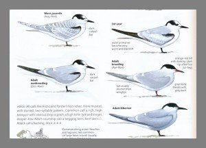 sibley2.terns.lines.2