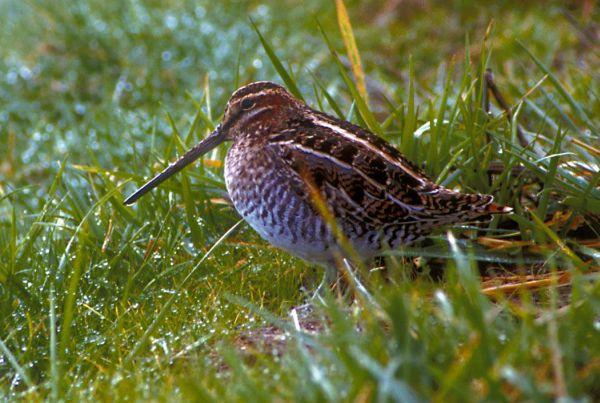 Snipe on grass
