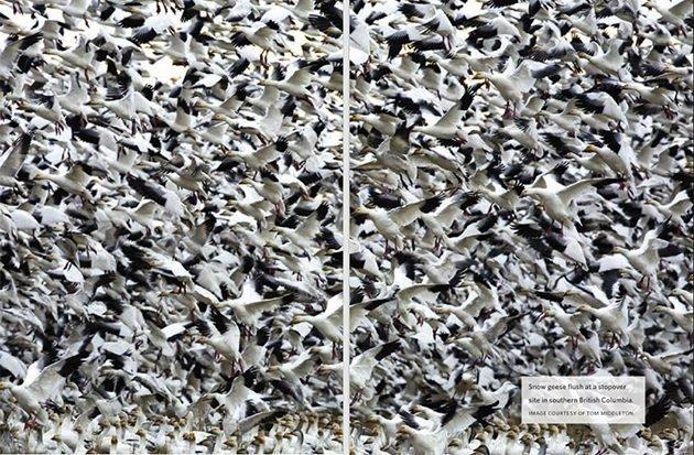 snow geese tom middleton