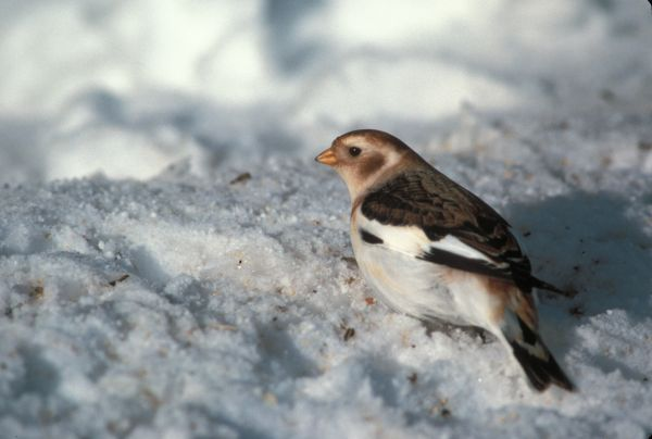 Snow Bunting in basic plumage on snowy background.
