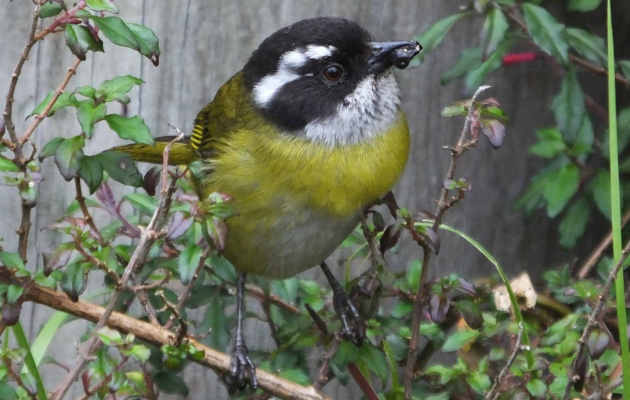 sooty-capped-chlorospingus