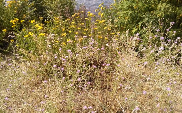 Spotted knapweed and tansy on the bank of the Clark Fork River
