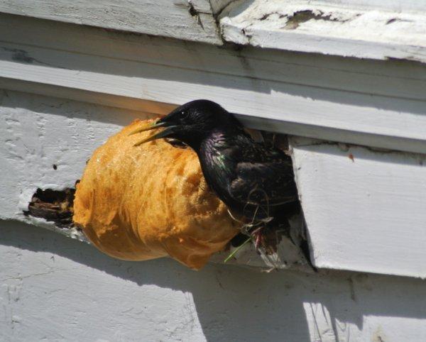 10 000 Birds Birds Nesting In Siding 10 000 Birds