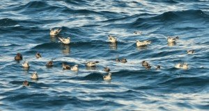 Fork-tailed, Ashy and Black Storm-Petrels