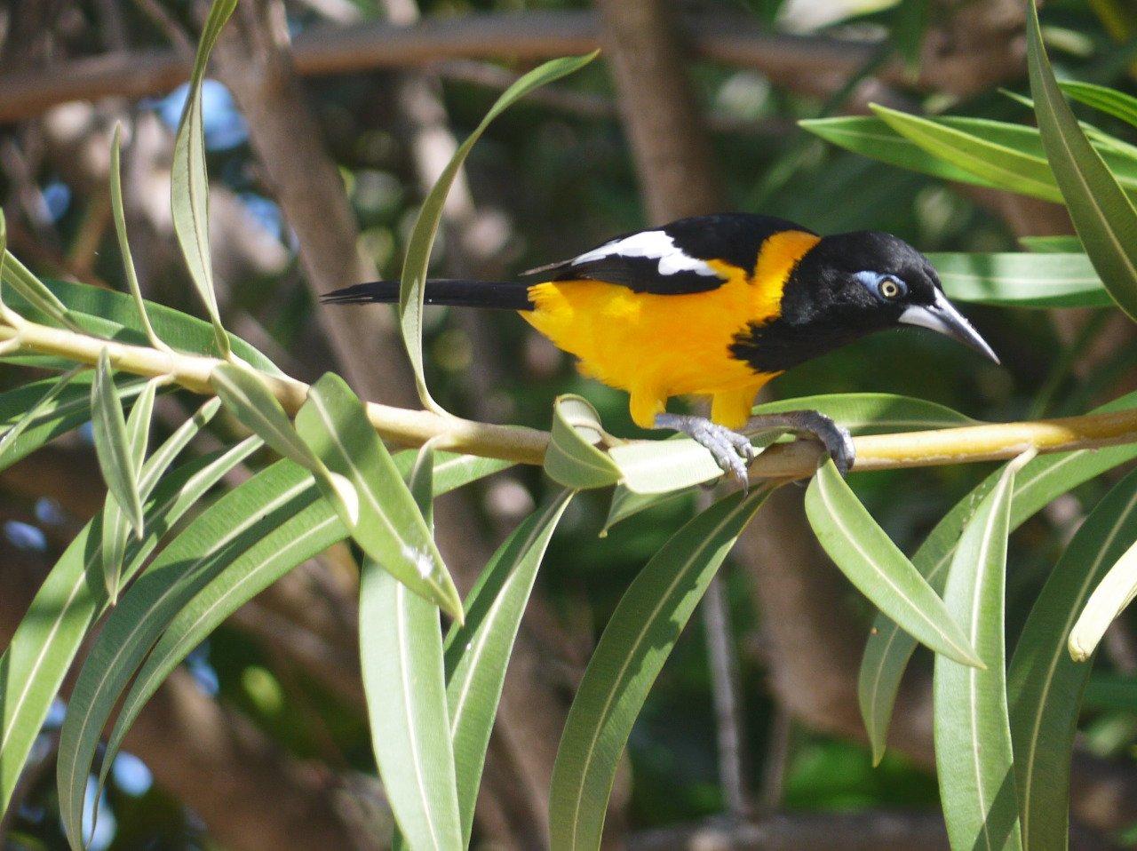 troupial, nature, bird, venezuela