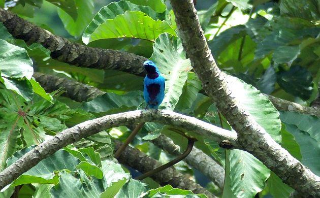 turquoise-cotinga