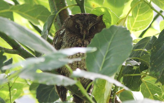 Vermiculated Screech Owl