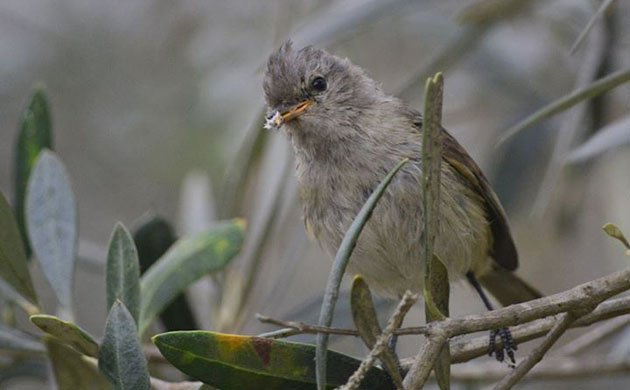 victor bustinza_Tyrannulet