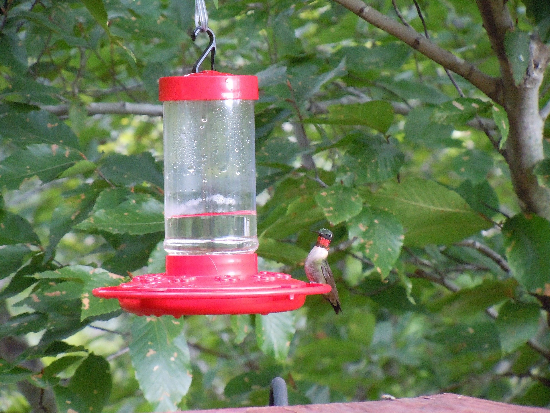 hummingbird, nature, birding, bird