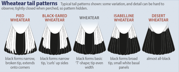 wheatear-tail-patterns400h