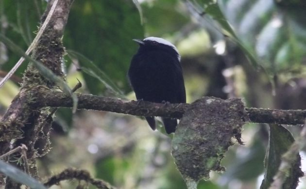 white-crowned manakin male