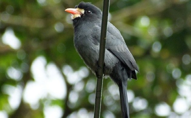 White-fronted Nunbird Costa Rica