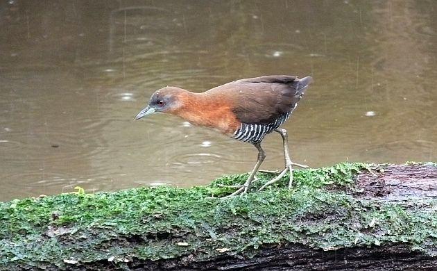 white-throated-crake