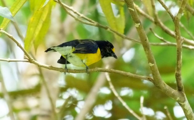 white-vented euphonia male