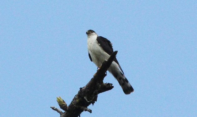 White-breasted Hawk