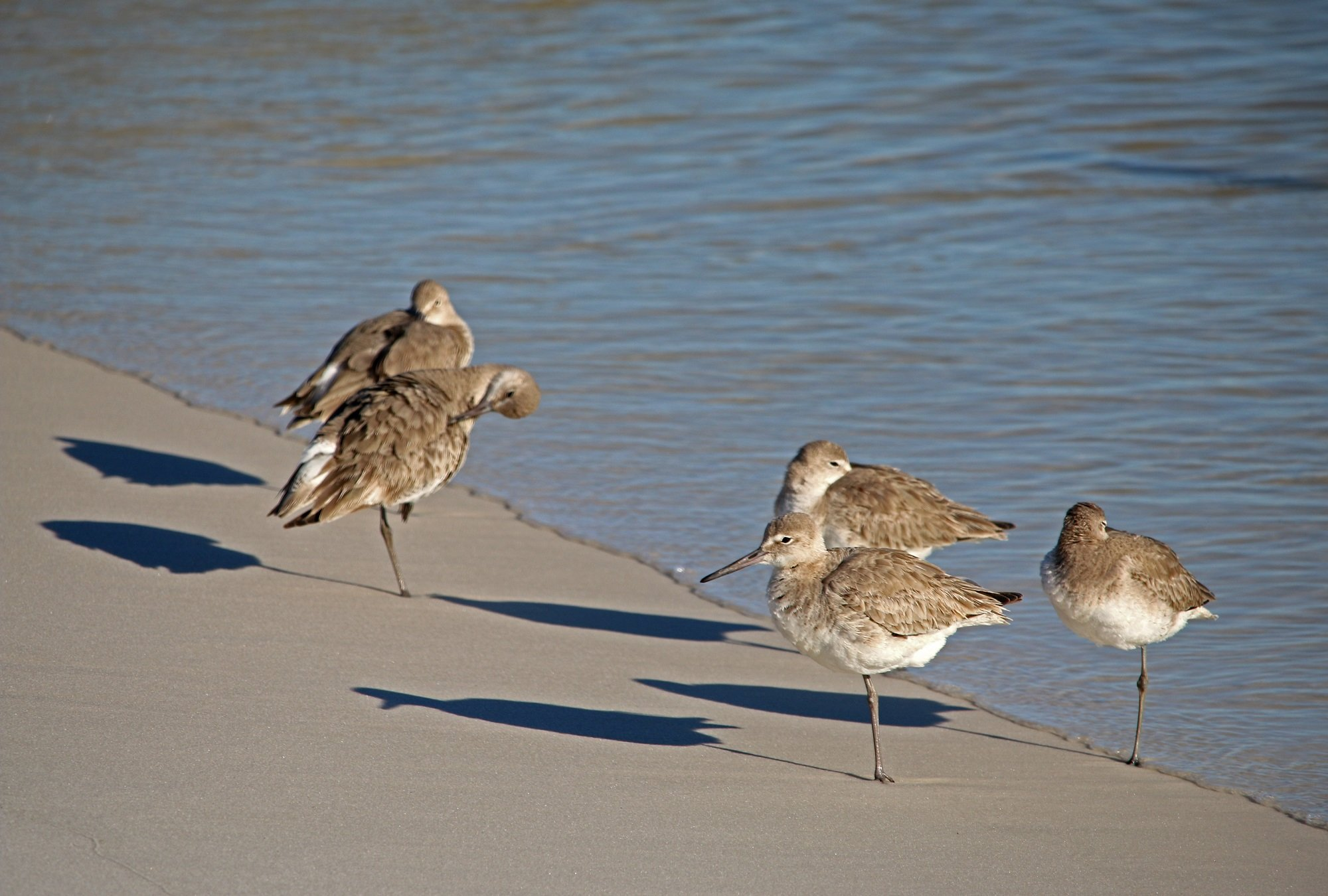 willets, nature, landscape, gbbc