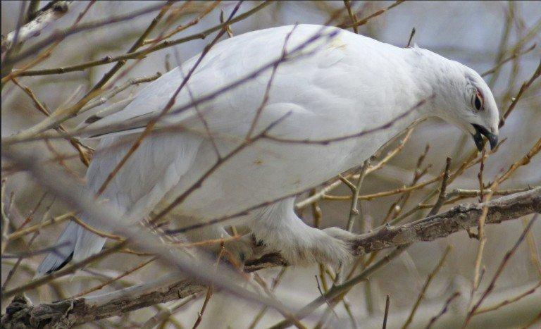 willow ptarmigan, alaska, state bird, birding