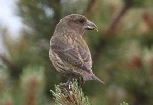 young crossbill