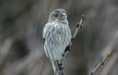 House Finch with conjunctivitis