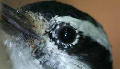 Downed Downy Woodpecker