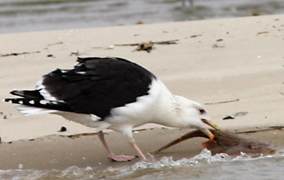 Great Black-backed Gull with lunch