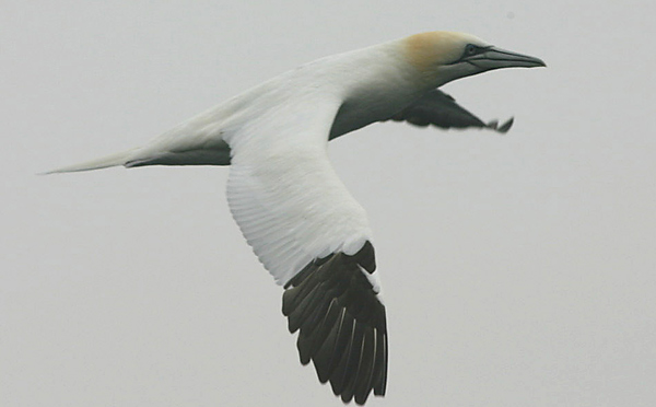 Northern Gannet, New York pelagic waters