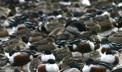 Lots of Northern Shovelers