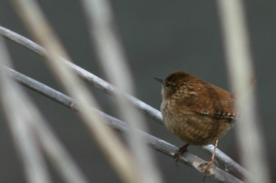 Winter Wren in Prospect Park