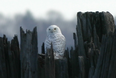 The famed Piermont Snowy Owl