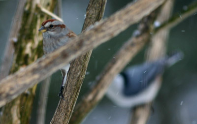 American Tree Sparrow and White Breasted Nuthatch
